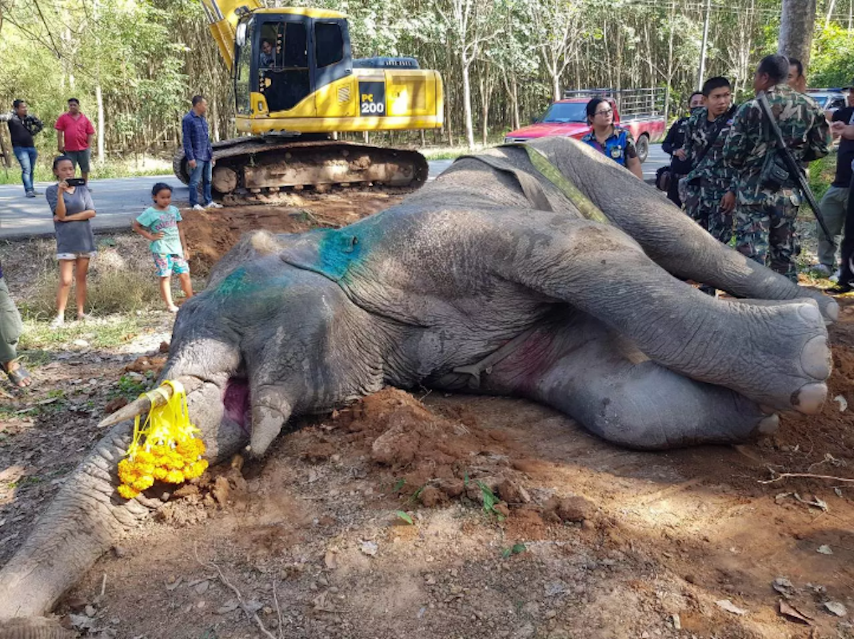 Veterinarians hired to treat an injured wild elephant blamed for killing two rubber tappers in Rayong in September ended up killing the animal by allegedly overdosing it with tranquilizers. (Photo: Pattaya Mail, with permission)