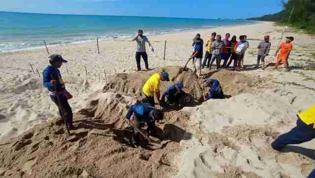 Officials from Phangnga's Takua Pa District dig up a leatherback turtle egg hole and move fertile eggs to a more-optimal location.