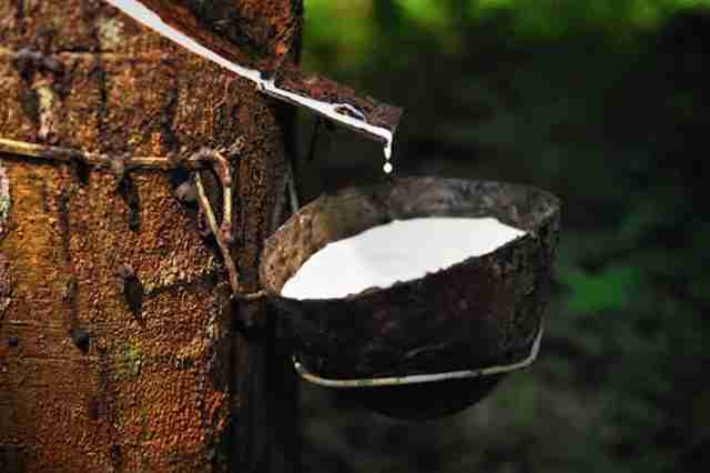 Thailand Rubber Tree Tapping Exports