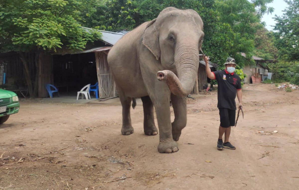 Suthep Petchkla, 36, said some of the few mahouts still living at a Najomtien elephant camp are using Facebook and YouTube to broadcast live video of the jumbos and asking viewers to pay 50 baht for baskets of food for the animals.
