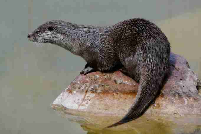 The wildlife of northern Thailand's rivers and forests, including the near-threatened Eurasian otter, could be disrupted by more dams on the Mekong (Image: Alamy)